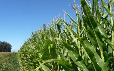 Se desploman los precios de granos