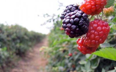 Salió el primer embarque de berries mexicanas a China