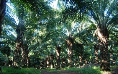 Sureste mexicano con alto potencial para producir palma de aceite