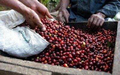 Productores de café mexicano concretan exportaciones a Europa
